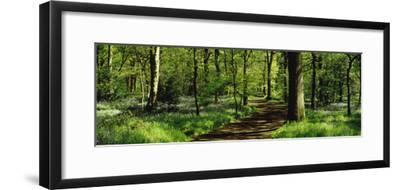 Bluebell Wood Yorkshire England--Framed Photographic Print