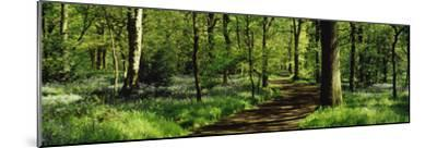 Bluebell Wood Yorkshire England--Mounted Photographic Print