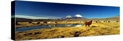 Alpaca (Lama Pacos) and Llama (Lama Glama) Grazing in the Field, Lauca National Park--Stretched Canvas Print