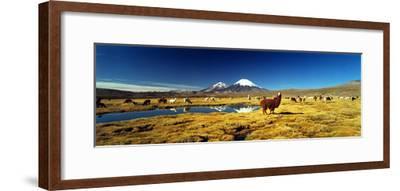 Alpaca (Lama Pacos) and Llama (Lama Glama) Grazing in the Field, Lauca National Park--Framed Photographic Print