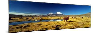 Alpaca (Lama Pacos) and Llama (Lama Glama) Grazing in the Field, Lauca National Park--Mounted Photographic Print