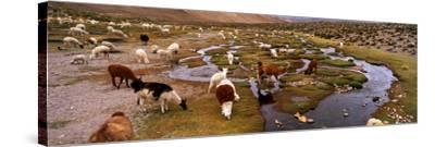 Llamas (Lama Glama) Grazing in the Field, Sacred Valley, Cusco Region, Peru, South America--Stretched Canvas Print