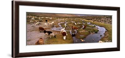Llamas (Lama Glama) Grazing in the Field, Sacred Valley, Cusco Region, Peru, South America--Framed Photographic Print