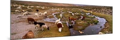 Llamas (Lama Glama) Grazing in the Field, Sacred Valley, Cusco Region, Peru, South America--Mounted Photographic Print