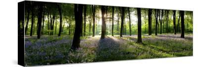 Bluebells Growing in a Forest in the Morning, Micheldever, Hampshire, England--Stretched Canvas Print