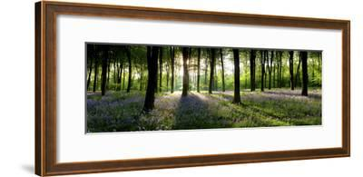 Bluebells Growing in a Forest in the Morning, Micheldever, Hampshire, England--Framed Photographic Print