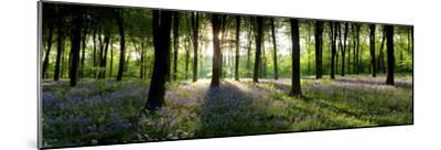 Bluebells Growing in a Forest in the Morning, Micheldever, Hampshire, England--Mounted Photographic Print