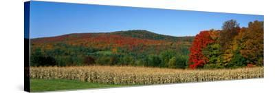 Ripe Corn Autumn Leaves Vermont USA--Stretched Canvas Print