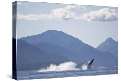 Breaching Humpback Whale in Chatham Strait--Stretched Canvas Print