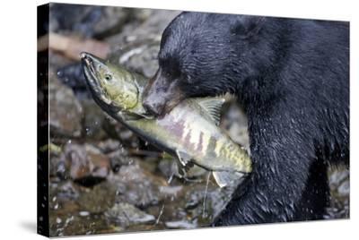 Black Bear and Chum Salmon in Alaska--Stretched Canvas Print