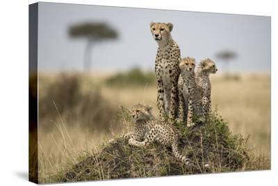 Cheetah and Cubs, Masai Mara Game Reserve, Kenya--Stretched Canvas Print