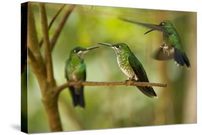 Hummingbirds, Costa Rica--Stretched Canvas Print