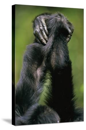 Close-Up of Chimpanzees Holding Hands--Stretched Canvas Print