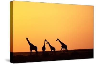 Giraffe Herd at Sunset--Stretched Canvas Print