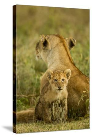 Lion Cub with Mother--Stretched Canvas Print