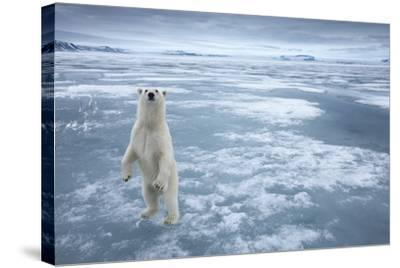 Polar Bear, Svalbard, Norway--Stretched Canvas Print