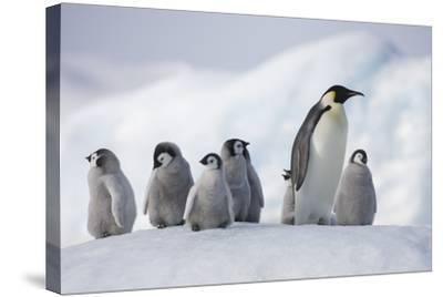 Emperor Penguins in Antarctica--Stretched Canvas Print