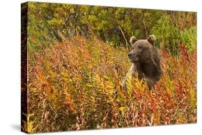 Brown Bear, Katmai National Park, Alaska--Stretched Canvas Print