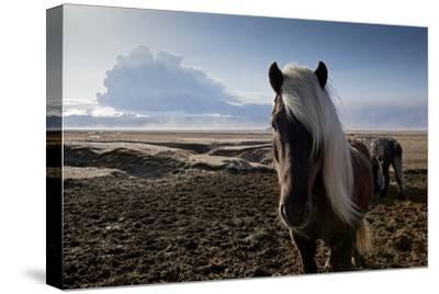 Icelandic Horses Near Ash Plume from Eyjafjallajokull Eruption--Stretched Canvas Print