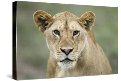Portrait of Lioness--Stretched Canvas Print