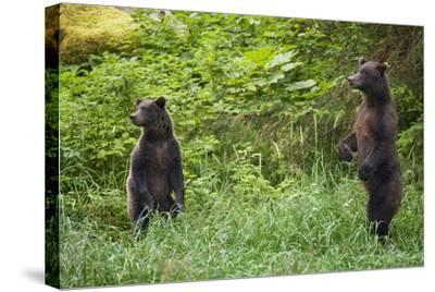 Brown Bears Standing on Baranof Island--Stretched Canvas Print