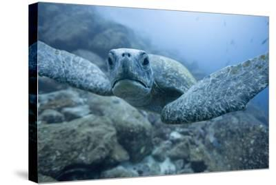 Green Turtle in the Galapagos Islands--Stretched Canvas Print