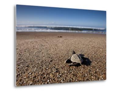 Hatchling Sea Turtle Heads to the Ocean--Metal Print