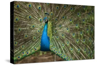 Male Indian Peacock in Costa Rica--Stretched Canvas Print