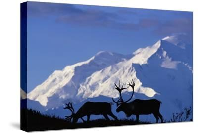 Caribou Grazing Near Wonder Lake Below Mt. Mckinley--Stretched Canvas Print
