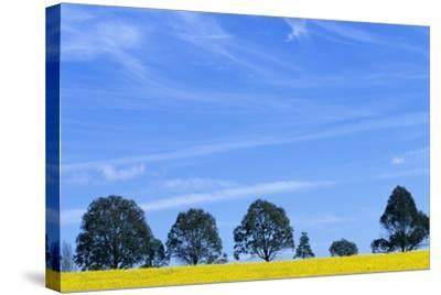 Field of Bright Yellow Mustard Seed--Stretched Canvas Print