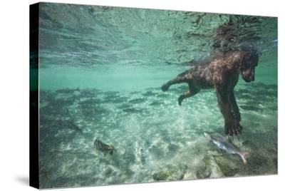 Underwater Brown Bear, Katmai National Park, Alaska--Stretched Canvas Print