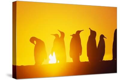Silhouetted King Penguin Colony at Sunrise--Stretched Canvas Print