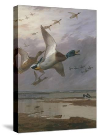 Duck Rising-Archibald Thorburn-Stretched Canvas Print