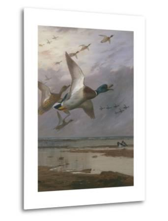 Duck Rising-Archibald Thorburn-Metal Print