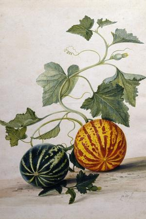 A Study of Gourds-Pieter Withoos-Stretched Canvas Print