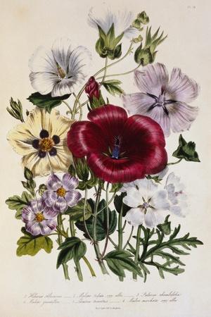 Hibiscus Africanus Botanical Illustration--Stretched Canvas Print