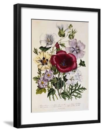 Hibiscus Africanus Botanical Illustration--Framed Giclee Print