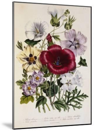 Hibiscus Africanus Botanical Illustration--Mounted Giclee Print