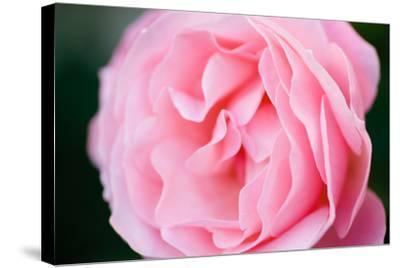 Pink Rose III-Beth Wold-Stretched Canvas Print
