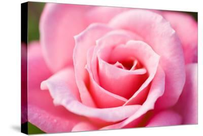 Pink Rose V-Beth Wold-Stretched Canvas Print
