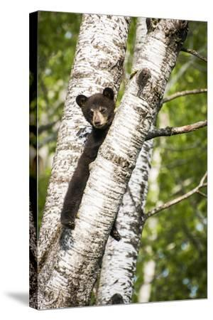 Bear Cub in Tree II-Beth Wold-Stretched Canvas Print