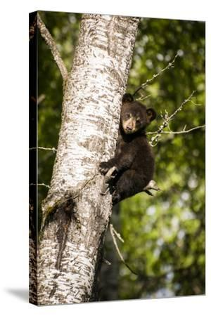 Bear Cub in Tree IV-Beth Wold-Stretched Canvas Print