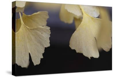 Autumn Gingko IV-Rita Crane-Stretched Canvas Print