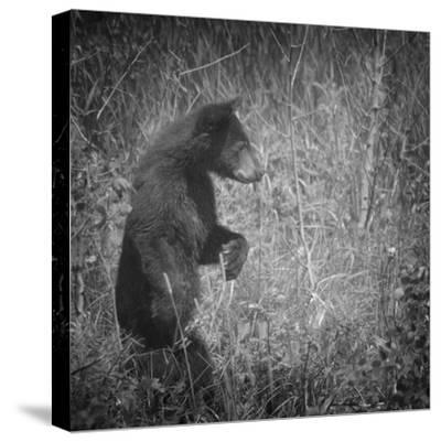 Black Bear Cub-Roberta Murray-Stretched Canvas Print