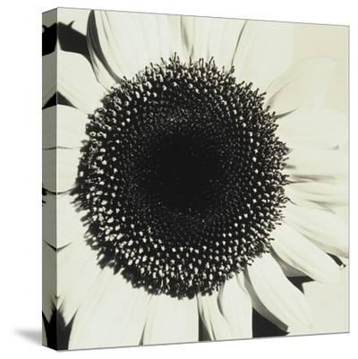 Sunflower-Graeme Harris-Stretched Canvas Print