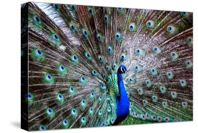 Wild Beauty II-Gail Peck-Stretched Canvas Print