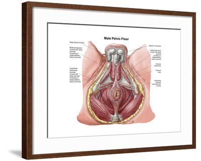 Pelvic Floor of Human Male--Framed Art Print
