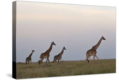Four Masai Giraffe (Giraffa Camelopardalis Tippelskirchi)-James Hager-Stretched Canvas Print