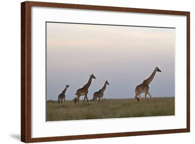 Four Masai Giraffe (Giraffa Camelopardalis Tippelskirchi)-James Hager-Framed Photographic Print