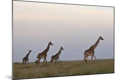 Four Masai Giraffe (Giraffa Camelopardalis Tippelskirchi)-James Hager-Mounted Photographic Print